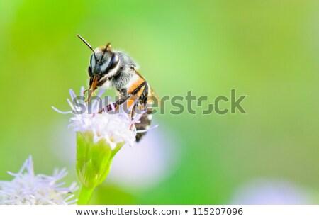Klein bee eten nectar bloem geit Stockfoto © Yongkiet