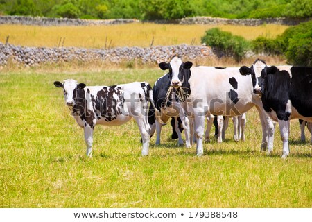 black and white cows grazing in the farmland at menorca spain stock photo © tuulijumala