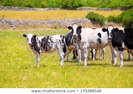Black and white cows grazing in the farmland at Menorca, Spain. Stock photo © tuulijumala