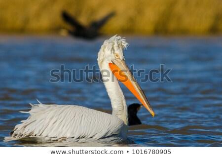 yüzme · kuş · beyaz · yüzmek · yaban · hayatı - stok fotoğraf © Lio22
