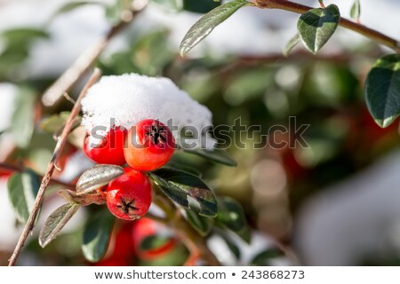 Stock photo: winter background with red gaultheria and snow