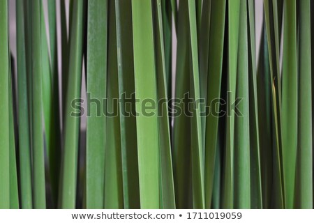 River green cane harvest texture pattern background Stock photo © lunamarina