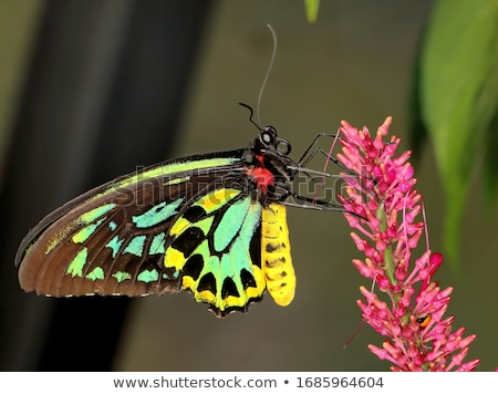 Queen Alexandra's birdwing Stock photo © bluering