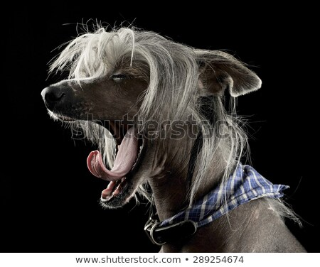 Stock photo: very cute chinese crested dog  yawning in black background