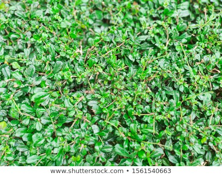 Abstract spring or summer  Background; green grass and tree leav Stock photo © Konstanttin
