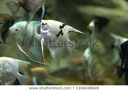 Egzotyczny morza rzeki ryb pływać akwarium Zdjęcia stock © dmitriisimakov