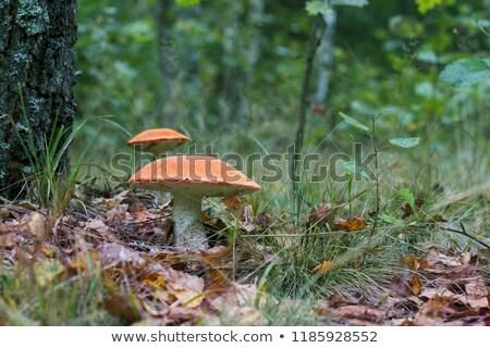 two big leccinum grow near the tree stock photo © romvo
