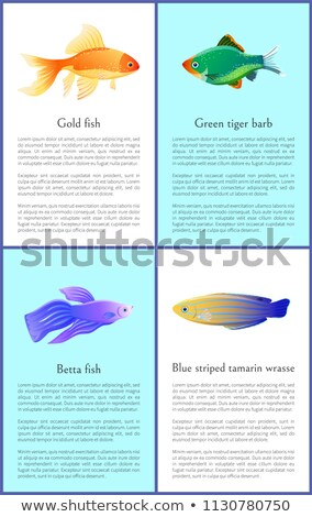 Gold and Betta Fishes Colorful Vector Banners Set Stock photo © robuart