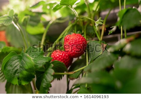 Two red ripe strawberries hanging on bush with green leaves among other plants Stock photo © pressmaster