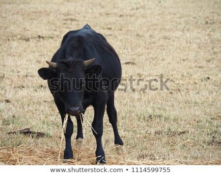 牛 · 小さな · カット · ホーン · 草 · フィールド - ストックフォト © Imagecom