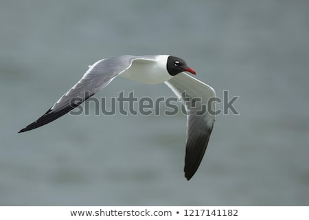 Flying Laughing Gull Stock photo © ca2hill