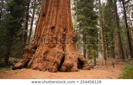 巨人 · セコイア · 樹皮 · フルフレーム · テクスチャ - ストックフォト © bryndin