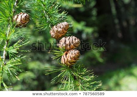 Alpine ağaçlar sonbahar dağlar Kanada orman Stok fotoğraf © skylight