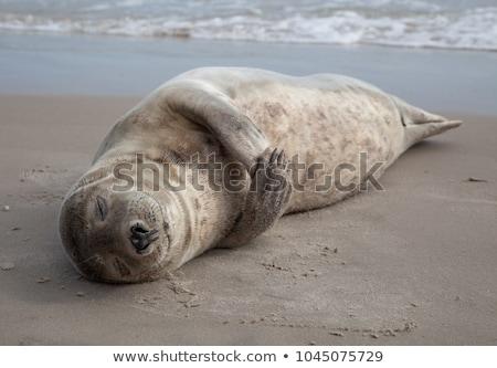 Seals sleep Stock photo © Witthaya