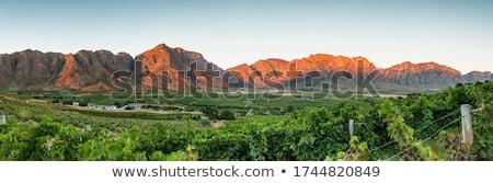 África · do · Sul · vinha · crescente · fresco · vermelho · uva - foto stock © garethweeks