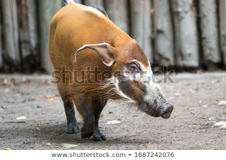 Red river hog or potamochoerus portrait Stock photo © Elenarts