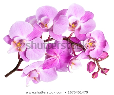 Foto stock: Orquídea · rosa · ramo · orquídeas · branco · folha