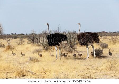 female ostrich walking in etosha national park stock photo © michaklootwijk