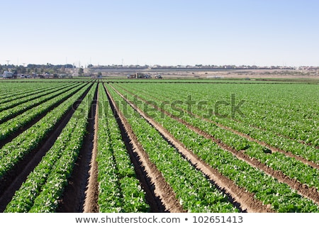irrigation on lettuce fields Stock photo © franky242