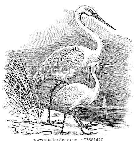 Great Egret (Ardea alba egretta) Stock photo © alex_grichenko