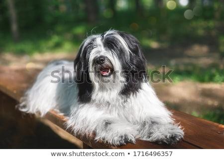 Terrier portré kutya fej alszik díszállat Stock fotó © manfredxy