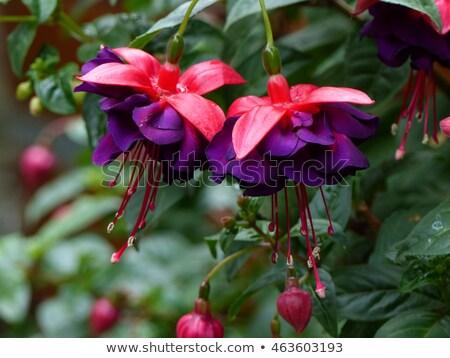 Beautiful Fuchsia flowers Stock photo © Julietphotography
