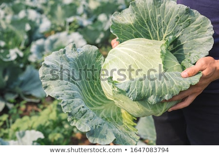 Cabbage stock photo © fuzzbones0