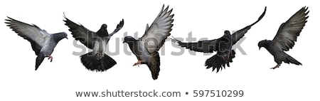 Group of pigeon flying isolated on white background stock photo © jaffarali