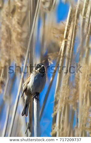 Reed Bunting (Emberiza schoeniclus)  Stock photo © chris2766