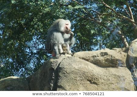portrait · adulte · Homme · babouin · mer · singe - photo stock © chris2766