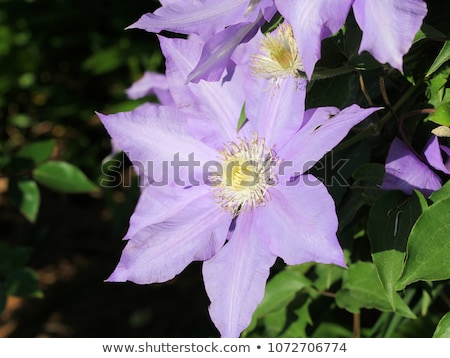 pink clematis flower stock photo © simply