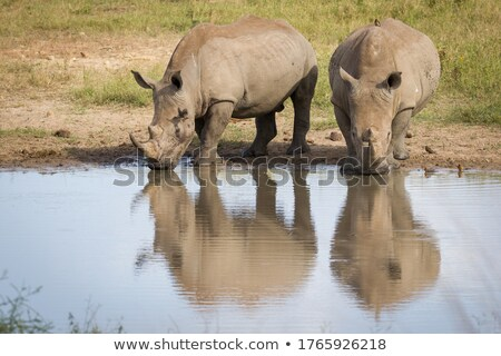 two red billed oxpeckers on a rhino stock photo © simoneeman