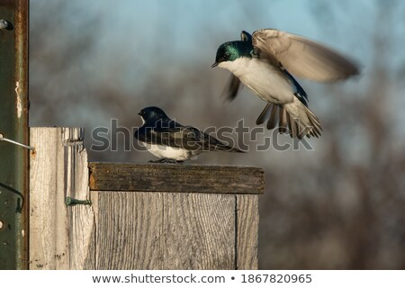 Tree Swallow hovering at bird house Stock photo © pictureguy