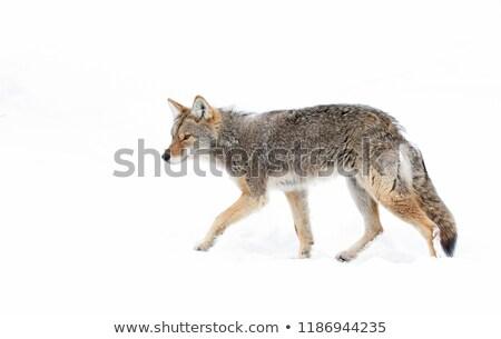 coyote in alert stock photo © yhelfman