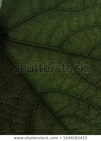 Macro photo of dark green leaf. Natural pattern of leaf vein as a background for your ideas. Top vie Stock photo © artjazz