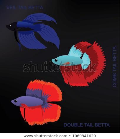 Betta Splendens Fish Types Set Vector Illustration Stock photo © robuart