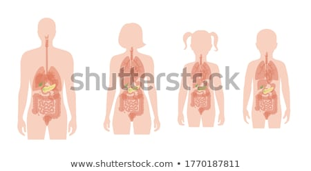 menselijke · intern · anatomie · gedetailleerd · illustratie - stockfoto © tefi