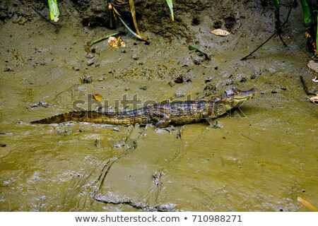 A Beautiful and Spectacled Caiman Costa Rica Stock photo © Lopolo