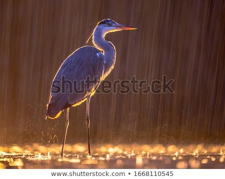 cinza · garça-real · pequeno · água · natureza · fundo - foto stock © alessandrozocc
