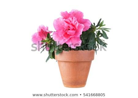 Pink Azalea flowers flowerpot Stock photo © simply