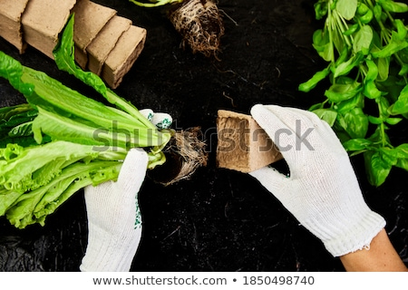 Hands of gardener puts greeners in peat container with soil Stock photo © Illia