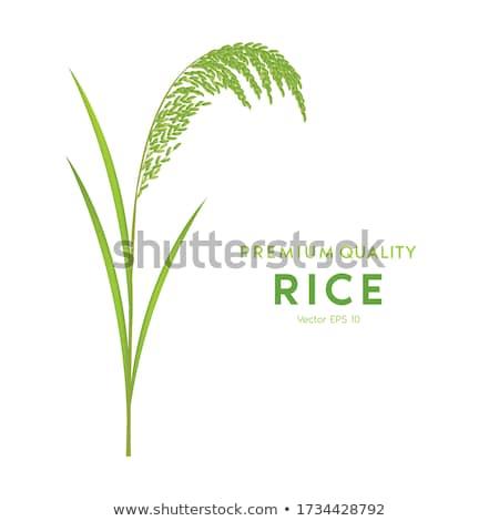 paddy rice harvest Stock photo © Ansonstock