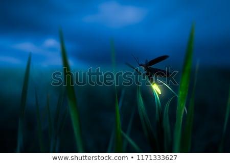 Izzó szentjánosbogár részletes illusztráció penge fű Stock fotó © macropixel