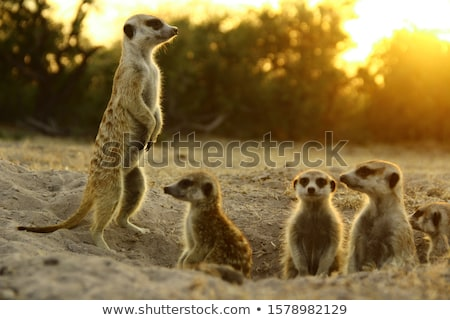 Relaxed Meerkat Stock photo © Spectral