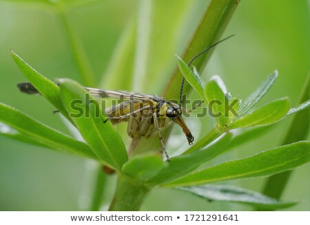 Scorpion Fly Stock photo © brm1949