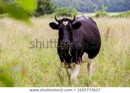 Blanche vache prairie français alpes nature Photo stock © chrisroll
