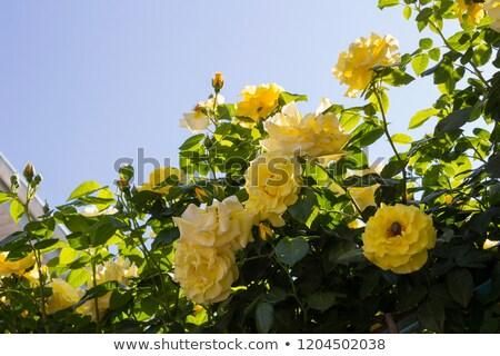 nagy · piros · rózsa · virág · egyezség · kép · fekete - stock fotó © ozaiachin