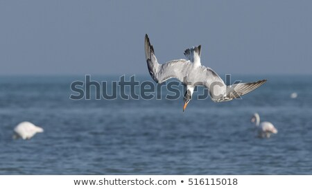 Caspian Tern in a dive Stock photo © davemontreuil