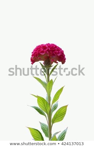 Piros gyapjú virágok virág virágoskert természet Stock fotó © sweetcrisis