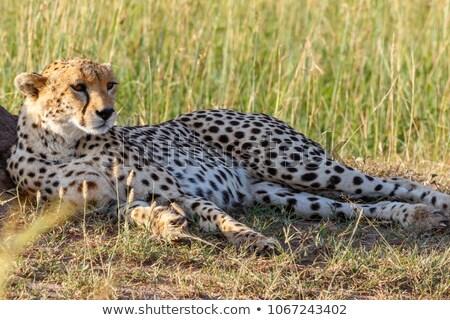Cheetah Lying Down Stock photo © JFJacobsz